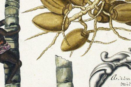 Rumphius' description of the flora of Amboina