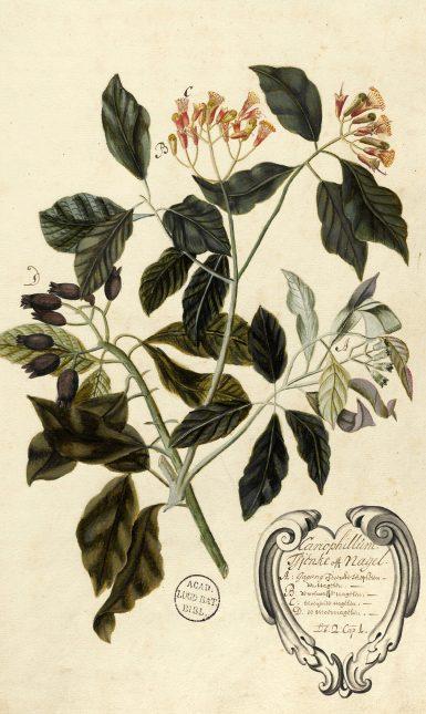 Rumphius Afb 23 De nagelboom